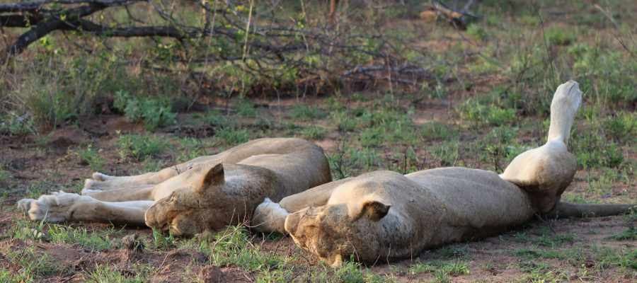 Lionesses sleeping